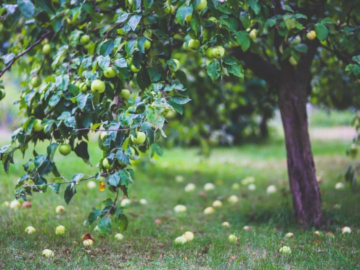 apfel-apfelbaum-apple-6035